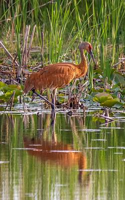 Photograph - Sandhill Crane on a Pond by Susan Rydberg