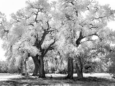 Priska Wettstein Land Shapes Series - Santa Fe New Mexico Cottonwoods by Rebecca Herranen