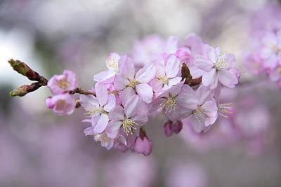Safari - Sargents Cherry Pink Flowers 1 by Jenny Rainbow
