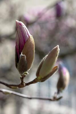 Photograph - Saucer Magnolia by Dawn Cavalieri