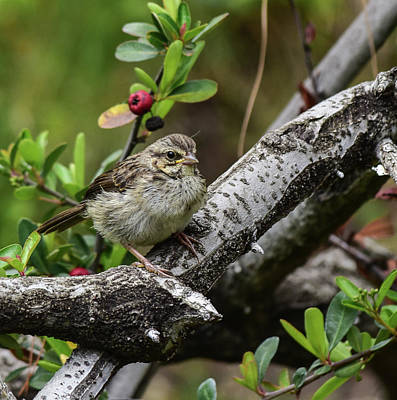 Modern Sophistication Beaches And Waves - Savannah Sparrow Youngster 2  by Linda Brody