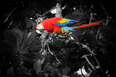 Anchor Down - Scarlet macaw in Costa Rican forest by Alexey Stiop