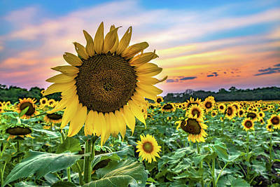 Royalty-Free and Rights-Managed Images - Scenic Sunflower Sunset - Grinter Farm in Lawrence Kansas by Gregory Ballos