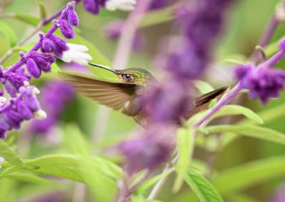 Photograph - Scintillant Humming Bird by Adrian O Brien