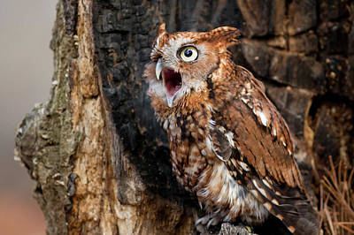Photograph - Screech Owl Calling by Matt Cuda