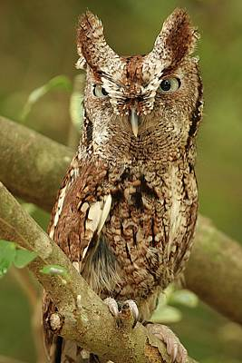 Lori A Cash Royalty-Free and Rights-Managed Images - Screech Owl Standing in Tree by Lori A Cash