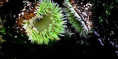 Jerry Sodorff Royalty-Free and Rights-Managed Images - Sea Anemone by Jerry Sodorff