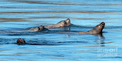 Royalty-Free and Rights-Managed Images - Sea Lion Quartet by Mike Dawson