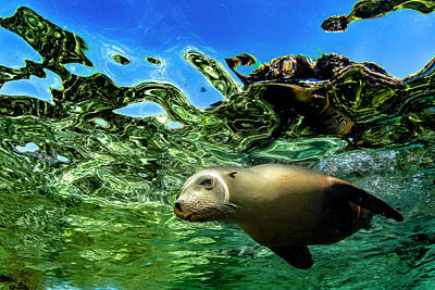 Photograph - Sea Lion by Todd Winner