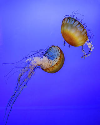 Royalty-Free and Rights-Managed Images - Sea Nettle 2 by Rebecca Cozart