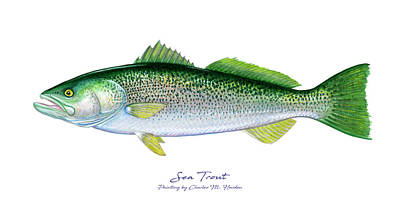Chris Walter Rock N Roll - Sea Trout by Charles Harden