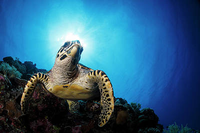Photograph - Sea Turtle by Todd Winner