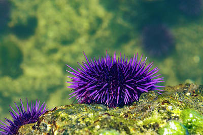 Amy Hamilton Animal Collage - Sea Urchin 2 by Pelo Blanco Photo