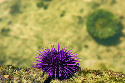 Royalty-Free and Rights-Managed Images - Sea Urchin by Pelo Blanco Photo