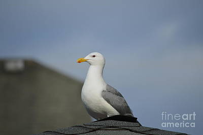 Angels And Cherubs - Seagull on the Roof  by Carol Eliassen