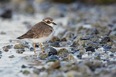 Lori A Cash Royalty-Free and Rights-Managed Images - Semipalmated Plover on Rocks at Beach by Lori A Cash