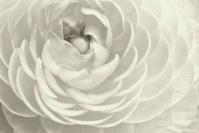 Modern Sophistication Line Drawings Royalty Free Images - Sepia Tone Ranunculus Royalty-Free Image by Linda D Lester