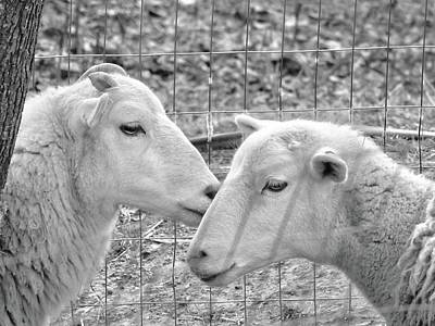 Photograph - Sheep Whispers by Kathy Ozzard Chism