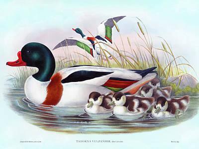 Painting - Sheldrake, Tadorna vulpanser Antique Bird Print by HC Richter, Birds of Great Britain by HC Richter
