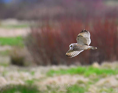1-war Is Hell Royalty Free Images - Short Eared Owl 1809 Royalty-Free Image by Aaron Whitney