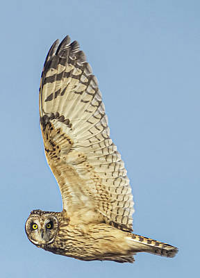 Classic Christmas Movies Royalty Free Images - Short Eared Owl Profile Royalty-Free Image by Paul Brooks