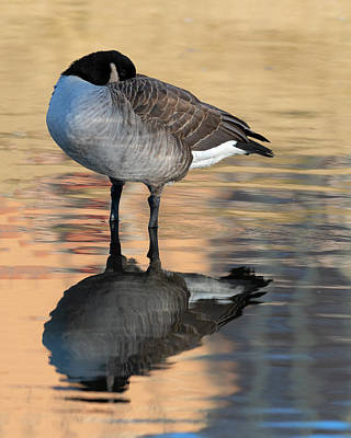 Birds Rights Managed Images - Shy Goose Royalty-Free Image by Gary Langley