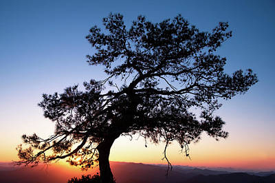 Photograph - Silhouette of a forest pine tree during blue hour with bright sun at sunset. by Michalakis Ppalis