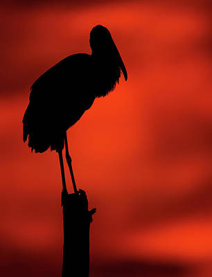 Lori A Cash Royalty-Free and Rights-Managed Images - Silhouette of Wood Stork on Post by Lori A Cash