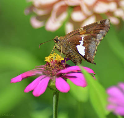 Royalty-Free and Rights-Managed Images - Silver-Spotted Skipper by Greg Joens