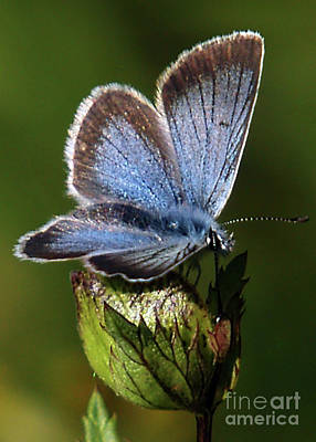 David Bowie Royalty Free Images - Silver-Studded Blue Royalty-Free Image by Torfinn Johannessen