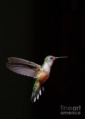 Clouds Rights Managed Images - Single Broad-Tailed Hummingbird in flight  Royalty-Free Image by Ruth Jolly