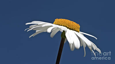Modern Sophistication Beaches And Waves - Single Oxeye Daisy by Baggieoldboy