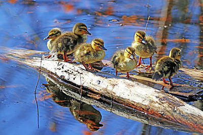 Spot Of Tea Royalty Free Images - Six Little Ducklings Standing On A Log Royalty-Free Image by Debbie Oppermann