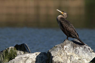 Animals Royalty-Free and Rights-Managed Images - Sleeping Cormorant on rocks by Baggieoldboy