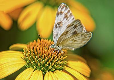 Comedian Drawings Rights Managed Images - Small White and Grey Brown Butterfly on Coneflower Royalty-Free Image by Douglas Barnett