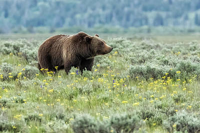 Amy Weiss - Smiling Grizzly #399 by Belinda Greb
