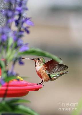 Just Desserts Rights Managed Images - Smooth Landing Hummingbird 2 Royalty-Free Image by Carol Groenen