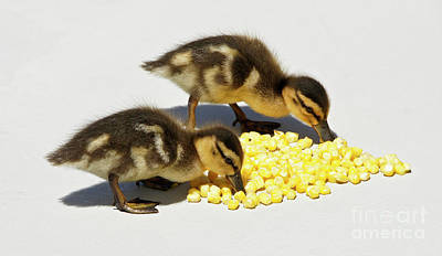 Photograph - Snack Time for Baby Ducks by Michele Burgess