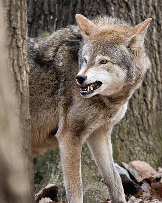 Photograph - Snarling Red Wolf by Matt Cuda