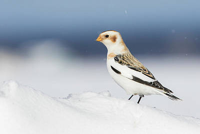 Queen - Snow Bunting in Blizzard by Mircea Costina Photography