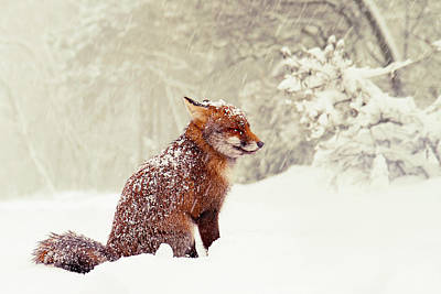 Photograph - Snow Fox Series - Dreaming Of A White Christmas by Roeselien Raimond