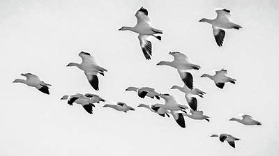 Popstar And Musician Paintings - Snow Geese in Flight BW by Joan Carroll