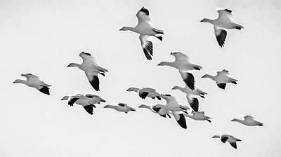 Rusty Trucks - Snow Geese in Flight BW by Joan Carroll