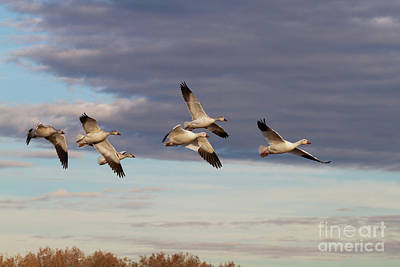 Vintage Pharmacy - Snow Geese in New Mexico by Ruth Jolly