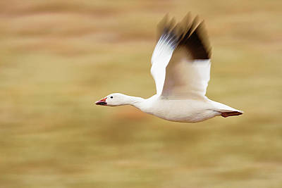 Lori A Cash Royalty-Free and Rights-Managed Images - Snow Goose Flying Over Field by Lori A Cash