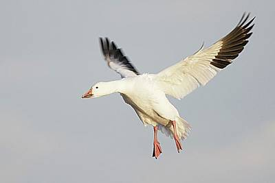 Lori A Cash Royalty-Free and Rights-Managed Images - Snow Goose Landing by Lori A Cash