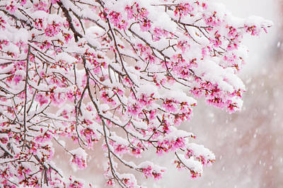 Wilderness Camping - Snow on Cherry Blossoms by Mary Ann Artz