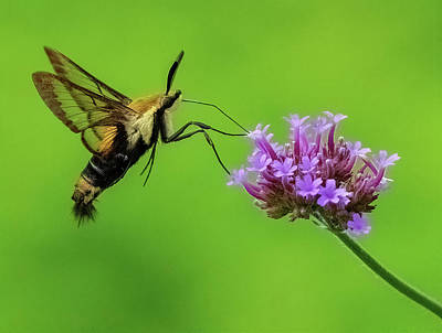 Farm Life Paintings Rob Moline Royalty Free Images - Snowberry Hummingbird  Moth Royalty-Free Image by William Jobes