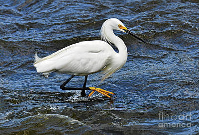 David Bowie - Snowy Egret Fishing for Dinner by Regina Geoghan