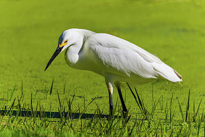 Royalty-Free and Rights-Managed Images - Snowy Egret Green Lake by Brian Knott Photography